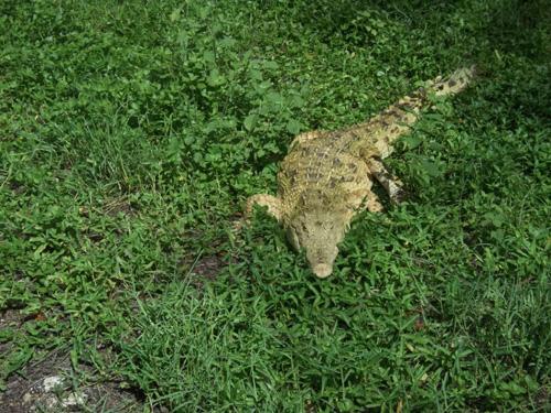 Krokodil 1x