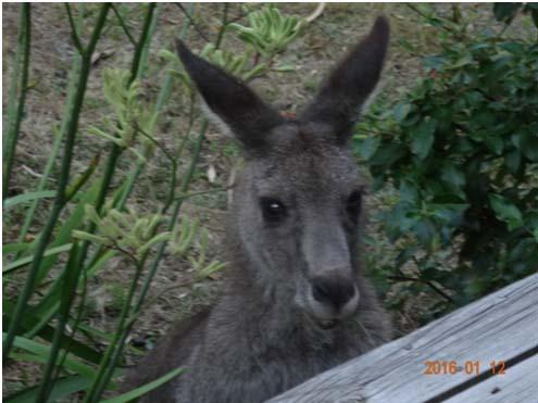 sydney-kangur